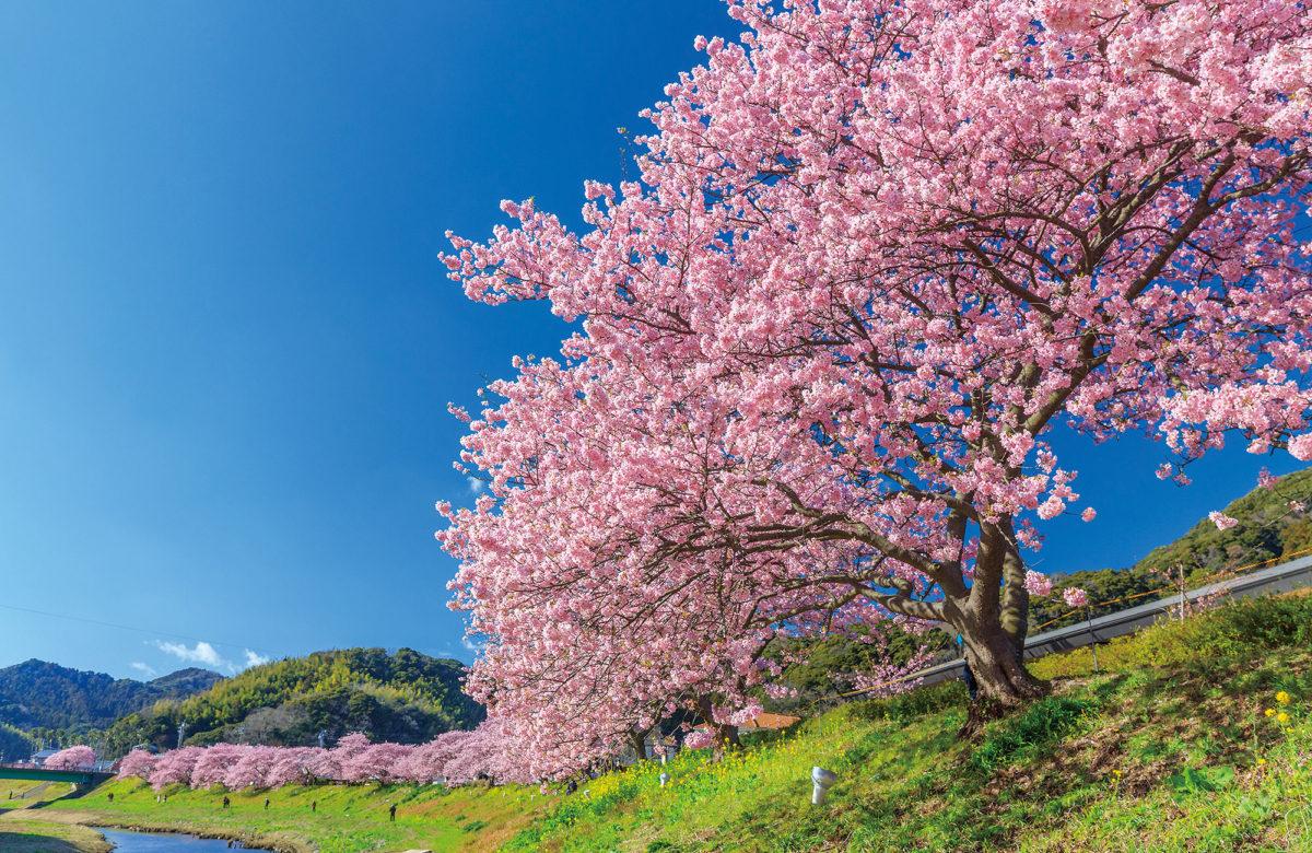 南部櫻花和油菜花