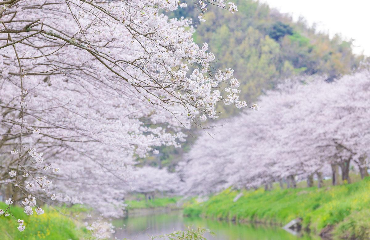 那賀川沿岸的櫻花林蔭道